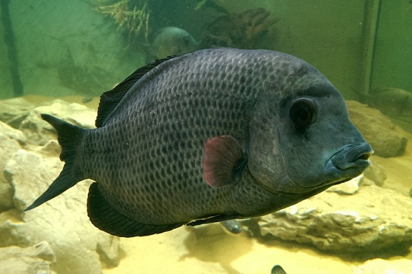 К чему снится большая рыба сонник
