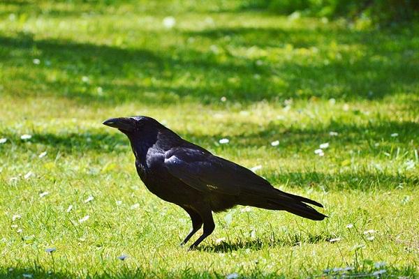 К чему снится черная ворона — сонник: черная ворона, птица во сне