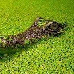 k-chemu-snitsya-krokodil