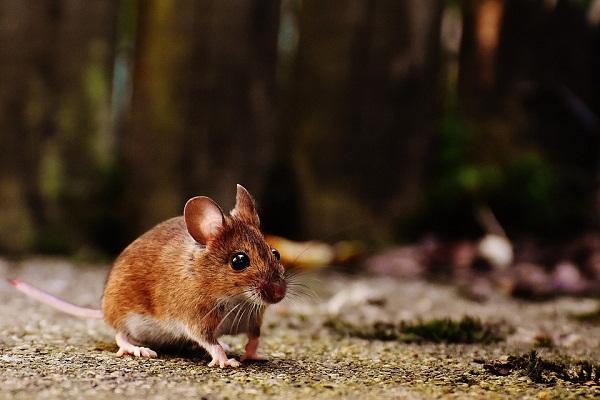Сонник маленькие мыши во сне к чему снятся маленькие мыши