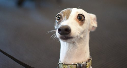Сонник видеть собачку
