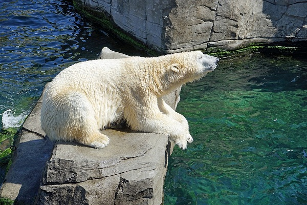 Сонник белый медведь во сне