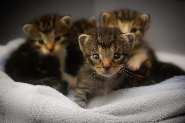 К чему снятся котята маленькие женщине сонник