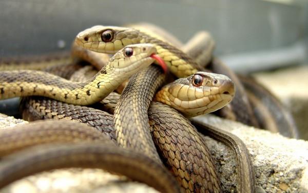 Волосатая змея сонник