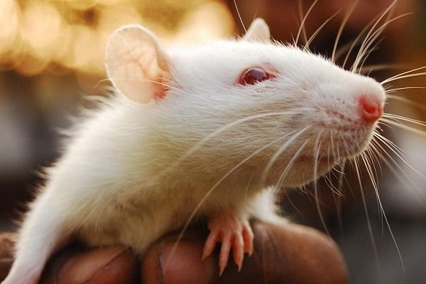 К чему снятся крысы и мыши беременной 61