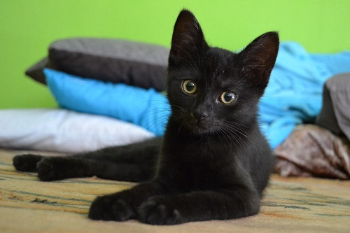 Видеть во сне много черных кошек