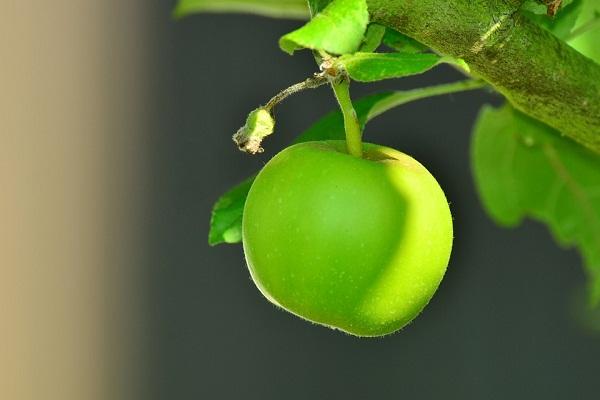 Сонник яблоки к чему снятся яблоки во сне