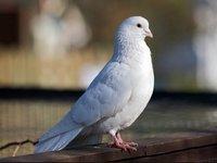 k-chemu-snyatsya-belye-golubi