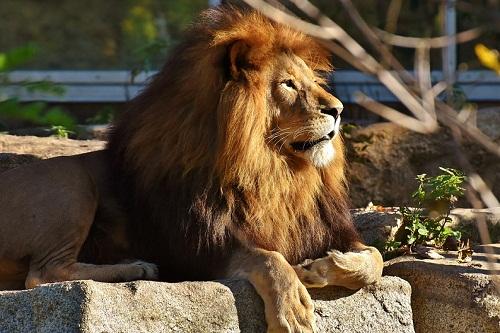 Сонник лев к чему снится лев во сне