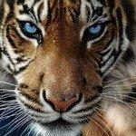 k-chemu-snitsya-tigr