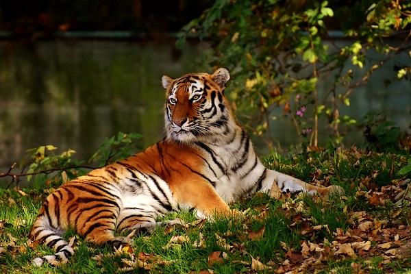 Сонник тигр к чему снится  тигр во сне