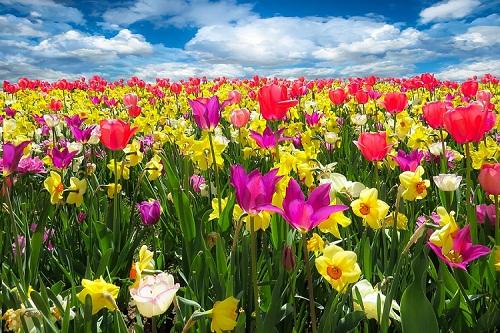 К чему снится тюльпан? Сонник - тюльпан во сне