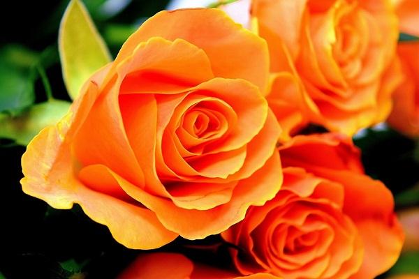 Сонник – видеть во сне розы. К чему снятся розы красные, белые, желтые, розовые, черные, живые, большие, разные, женщине, мужчине, дарят: толкование сна