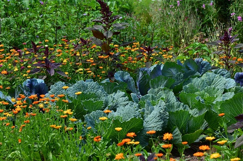 К чему снится капуста в кочанах свежая на огороде сонник