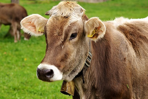 Сонник сон корова рыжая