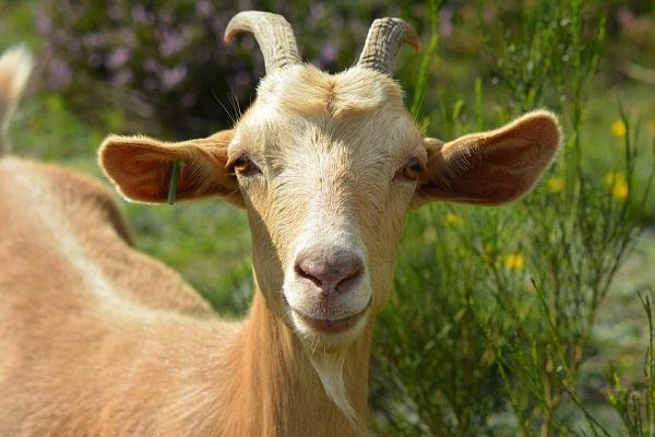 Сонник белая коза к чему снится  белая коза во сне