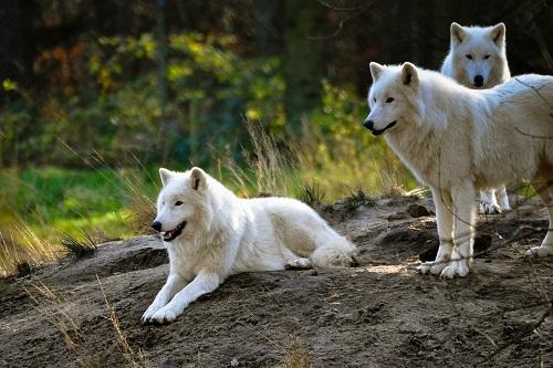 К чему снится волк или волки? Сонник
