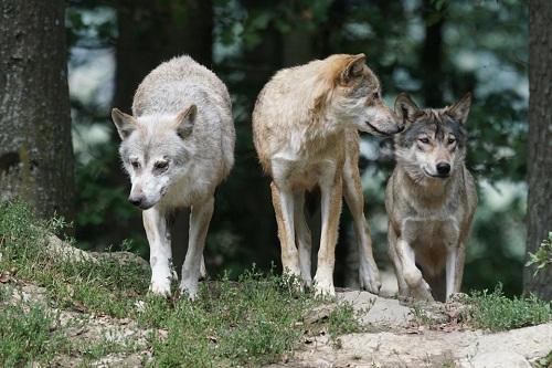 Сонник волк дома