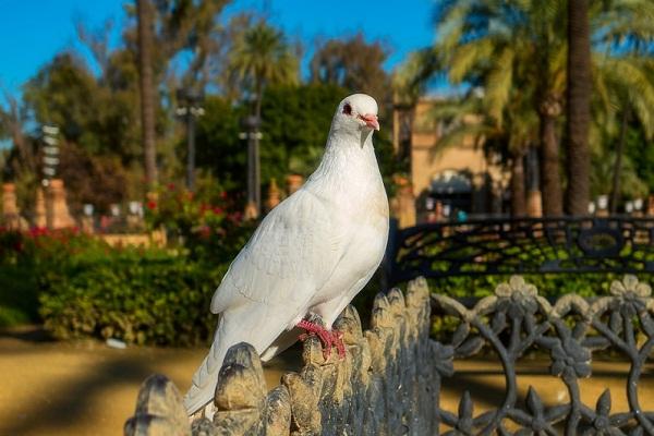 Сонник толкование снов к чему снится голубь