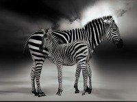k-chemu-snitsya-zebra
