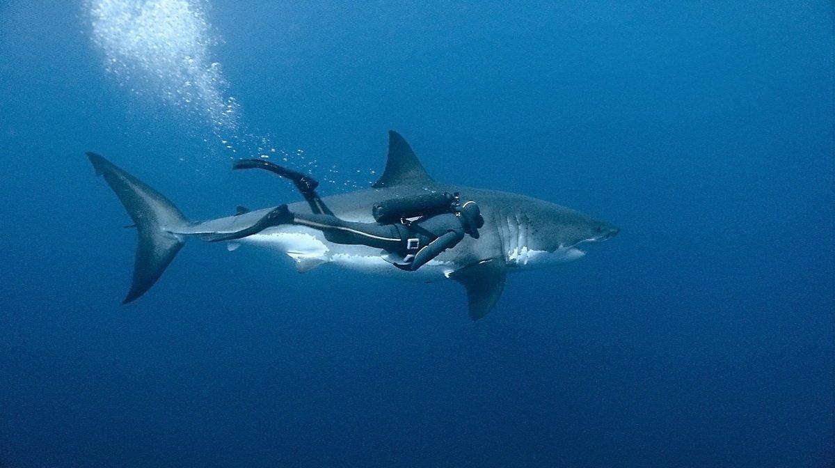 К чему снится акула: толкование снов о морских хищниках разными сонниками