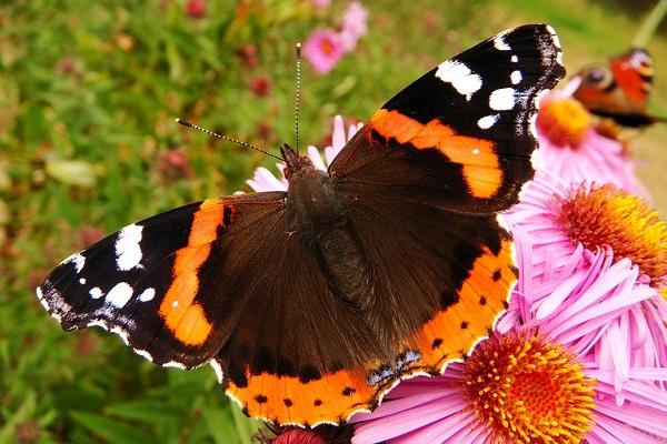 Сонник бабочки разноцветные большие
