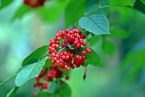buzina-lechebnye-svojstva-primenenie-protivopokazaniya-3