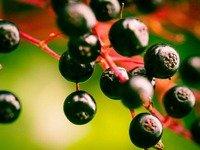 buzina-lechebnye-svojstva-primenenie-protivopokazaniya