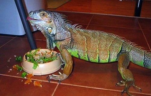 k-chemu-snitsya-iguana 1