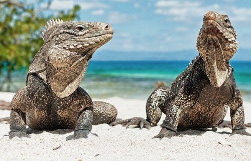 k-chemu-snitsya-iguana 3