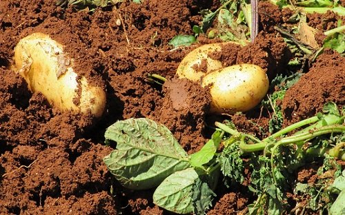 К чему снится крупная картошка, сонник – крупная картошка во сне