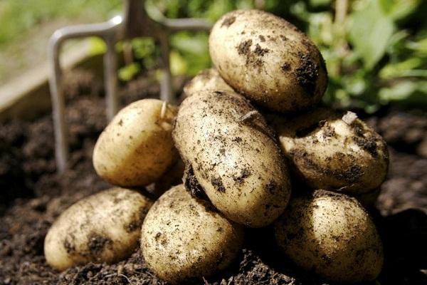 Картошка во сне к чему сонник