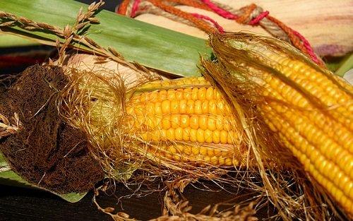 k-chemu-snitsya-kukuruza