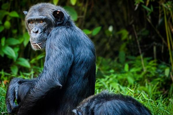 К чему снится обезьяна, сонник – обезьяна во сне
