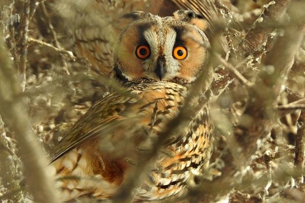 К чему снится сова, сонник – сова во сне