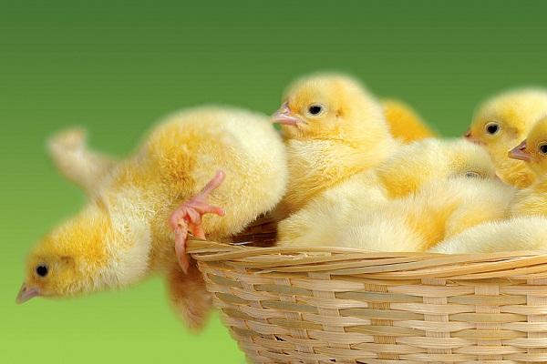 К чему снится желтый цыпленок