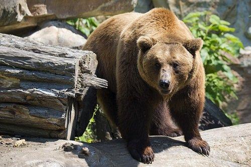 k-chemu-snitsya-buryj-medved 2