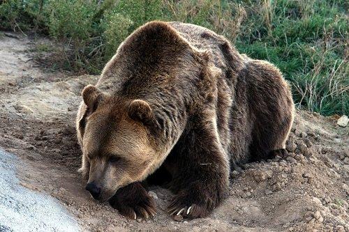 k-chemu-snitsya-buryj-medved