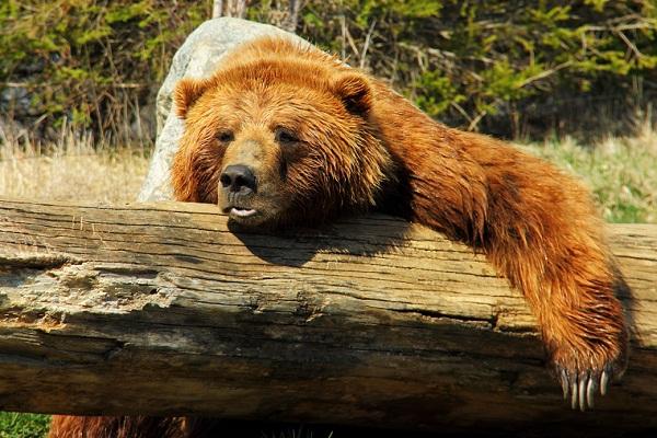 Сонник медведь к чему снится женщине незамужней