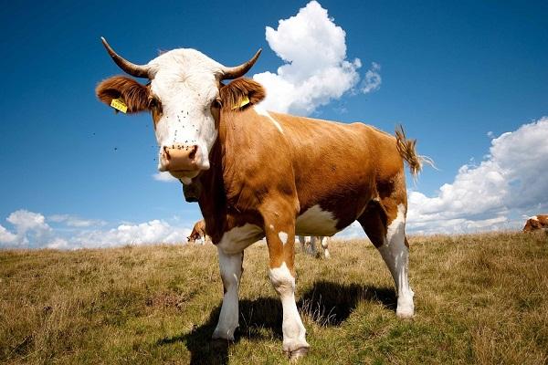 К чему снится бык женщине нападающий с рогами разъяренный сонник