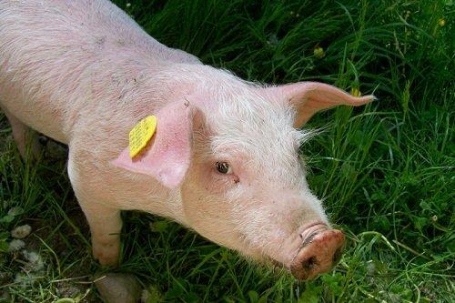 Видеть во сне много свиней