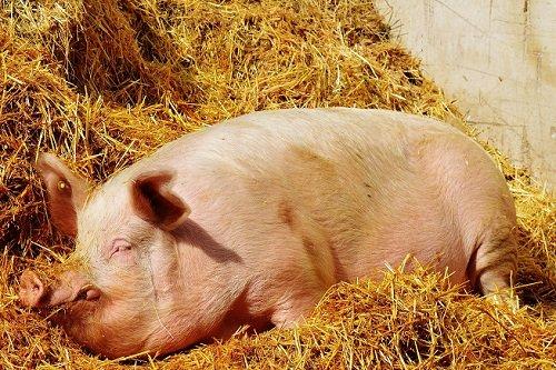 видеть во сне свинью времени, тщательно ухаживая