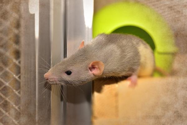 Приснилась мышь к беременности