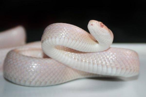 Белая змея во сне