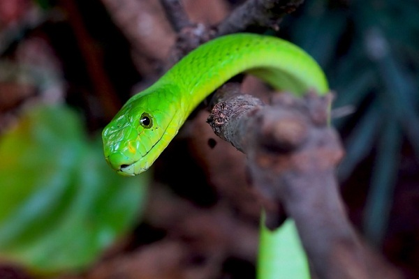 Зеленая змея во сне что значит