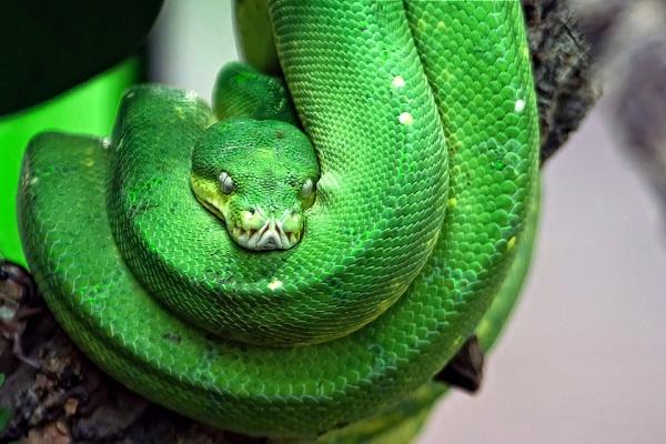 Приснилась зеленая змея