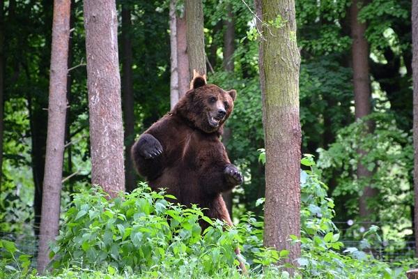 К чему во сне убегать от медведя