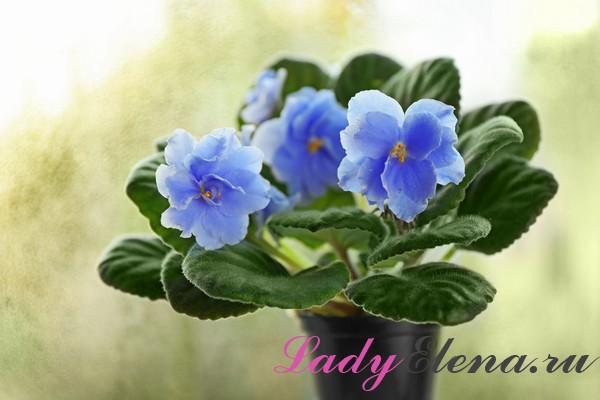 Комнатные цветы для счастья