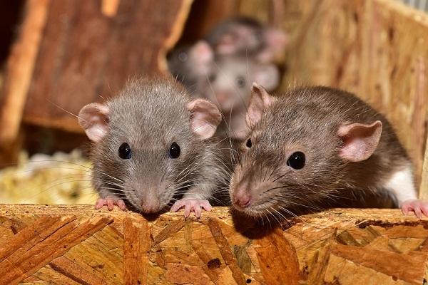 Крыса во сне - толкование