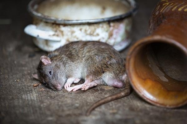 Приснилась крыса - что означает